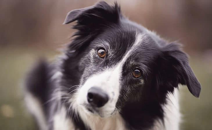smartaste hundraser