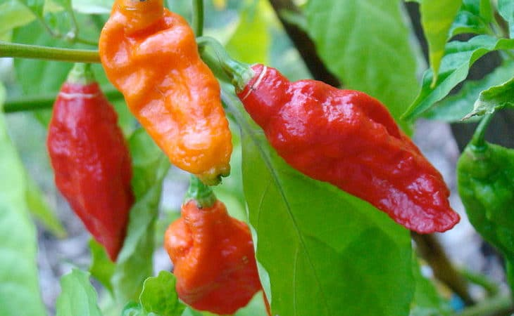 Ghost Pepper Bhut Jolokia